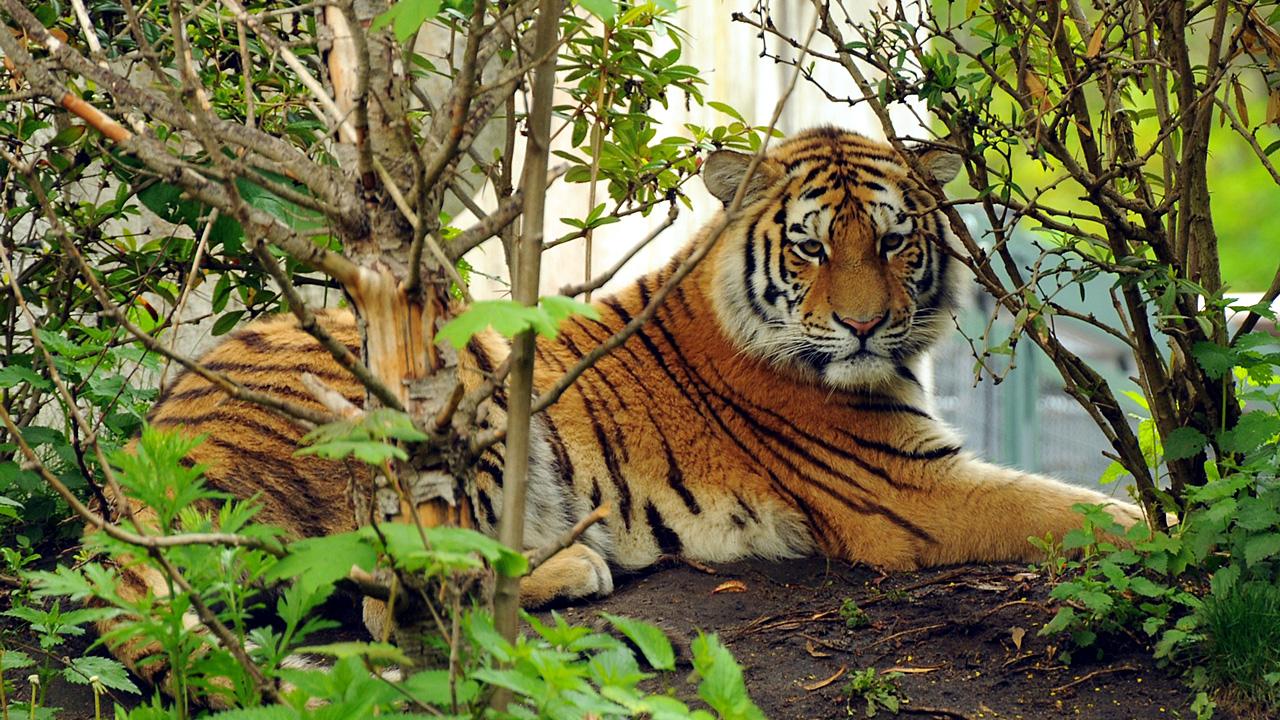 Calendrier 2019 Gratuit Calendrier à Imprimer Tigre Du
